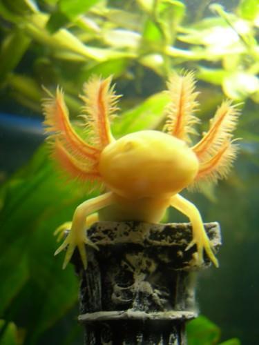 "Аксолотль или ""водяная игрушка"" (лат. Ambystoma mexicanum)"