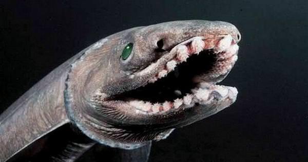 Плащеносная или «доисторическая акула» (лат. Chlamydoselachus anguineus)