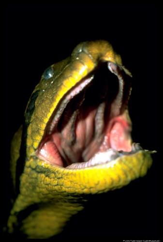 Анаконда (лат. Eunectes murinus)