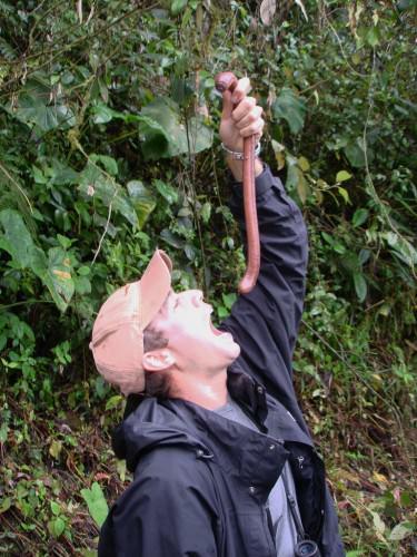 Австралийский гигантский дождевой червь (лат. Megascolides australis) (англ. Giant  earthworm)