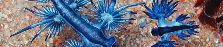 Голожаберный моллюск Glaucus atlanticus