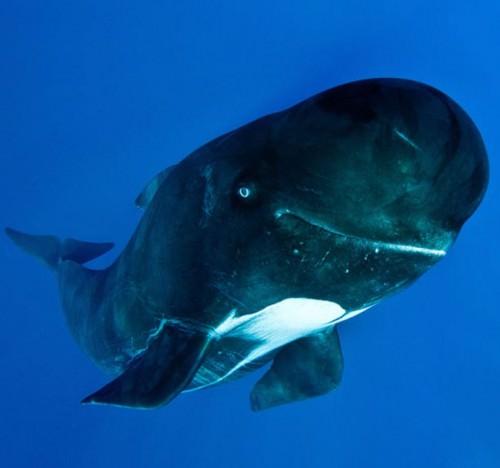 Гринды или «киты-пилоты» (лат. Globicephala) (англ. Pilot Whales)