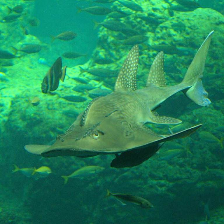 Рыба-гитара (лат.  Rhinobatus rhinobatus.
