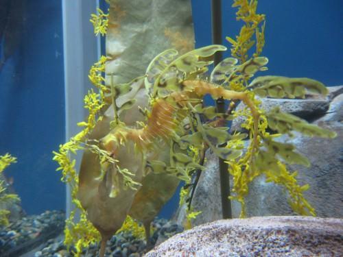 Лиственный морской дракон или морской пегас (лат. Phycodurus eques) (англ. Leafy Sea Dragon)