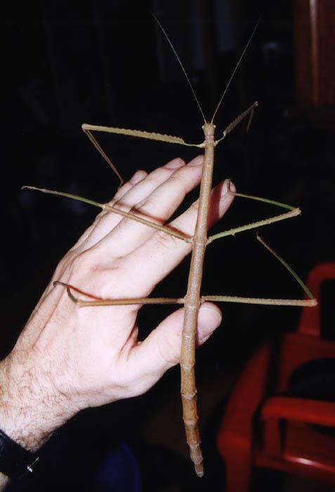 Мегапалочник Чана (лат. Phobaeticus chani)