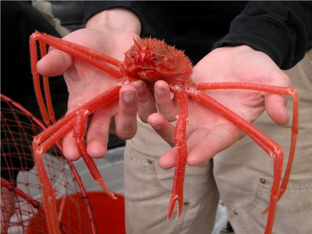 Giant crab spider bite
