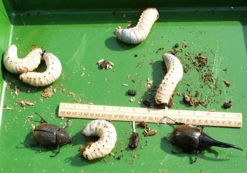 Жук-геркулес (лат. Dynastes hercules)