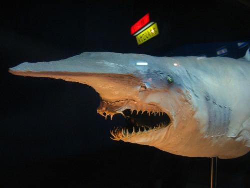 Акула-гоблин или акула-носорог, акула-домовой, скапаноринх (лат. Mitsukurina owstoni) (англ. Goblin shark)