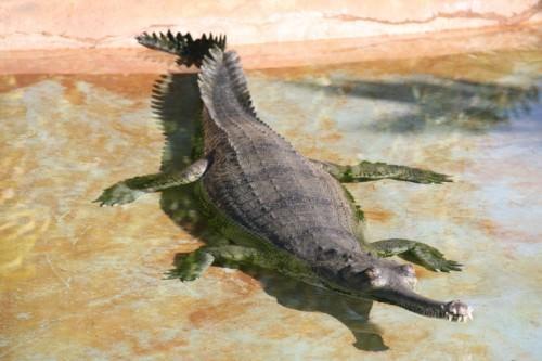 Гавиал  (лат. Gavialis gangeticus) (англ. Ghavial или Gavial)