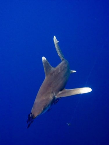 Длиннокрылая океаническая акула (лат. Carcharhinus longimanus)