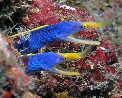 Голубой ленточный угорь или ленточная мурена (лат. Rhinomuraena guaesita) (англ. Ribbon eel)