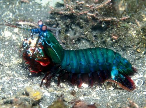 Креветка-богомол Павлиновая или рак-богомол (лат. Odontodactylus scyllarus) (англ. Mantis shrimp)