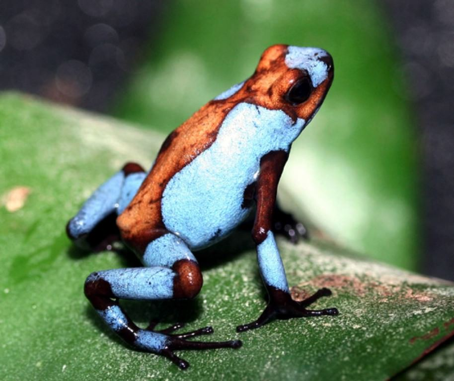 ... лягушки лат dendrobates pumilio англ poison dart frog: ianimal.ru/topics/lyagushka-drevolaz-pumilio