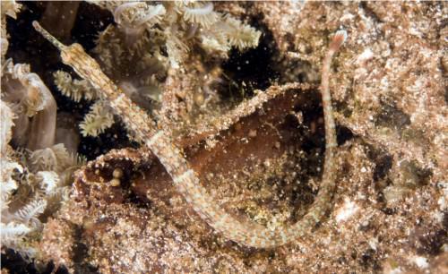 Обыкновенная морская игла или рыба-игла (лат. Syngnathus) (англ. Pipefish)