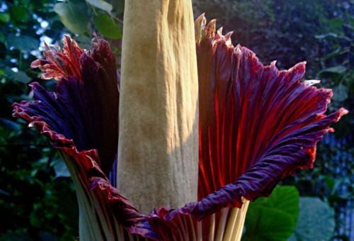 Аморфофаллус титаниум  или «трупная лилия» (лат. Amorphophallus Titanium)