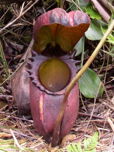 Непентес Аттенборо (лат. Nepenthes attenboroughii)