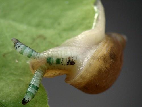 Лейкохлоридий парадоксальный (лат. Leucochloridium paradoxum)