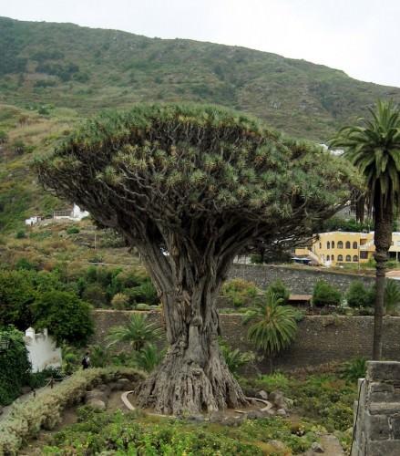 Драконово дерево или драцена драконовая (лат. Dracaena draco)(англ. Dracon's Blood tree)