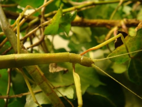 Индийский палочник (лат. Carausius morosus) (англ. Indian Stick Insect)