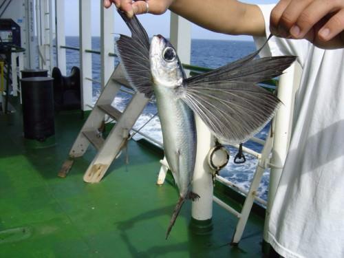 Летучая рыба (лат.Exocoetidae) (англ. Flying Fish)