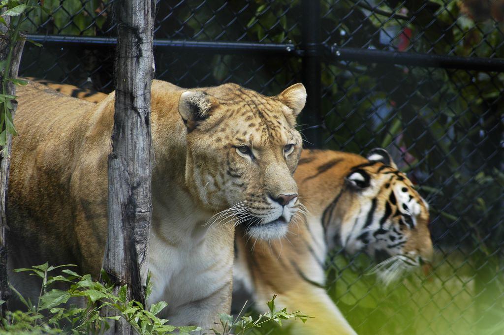 фото тигры пара