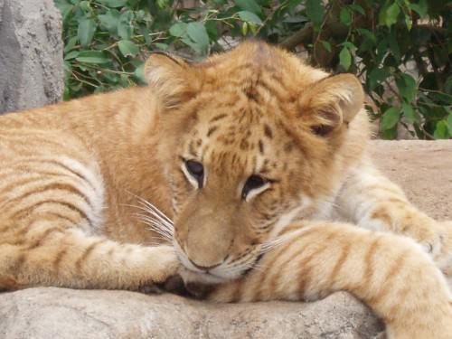 Лигр (лат. Panthera Leogris) (англ. Liger)