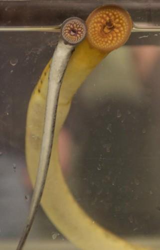 Внешне миноги больше напоминают угрей, чем рыб в обычном нашем представлении.