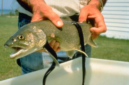 Морская минога - наружный паразит крупных рыб.