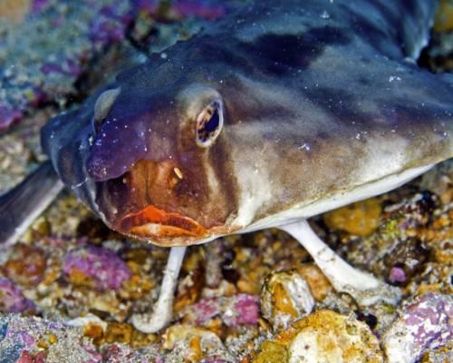 Морской нетопырь (лат. Ogcocephalidae) (англ. Batfish)