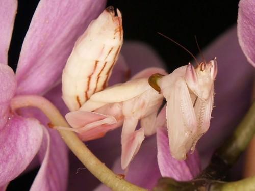 http://ianimal.ru/wp-content/uploads/2010/12/orhideinii-bogomol05-500x375.jpg