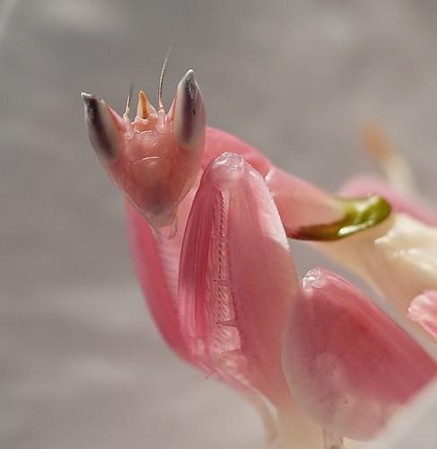 http://ianimal.ru/wp-content/uploads/2010/12/orhideinii-bogomol13-487x500.jpg