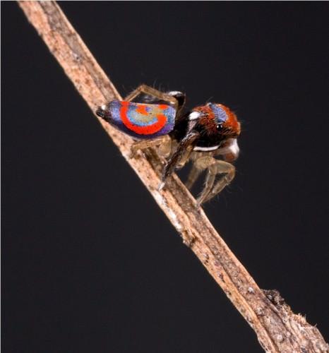 Павлиний паук (лат. Maratus volans) (англ. Peacock spider)
