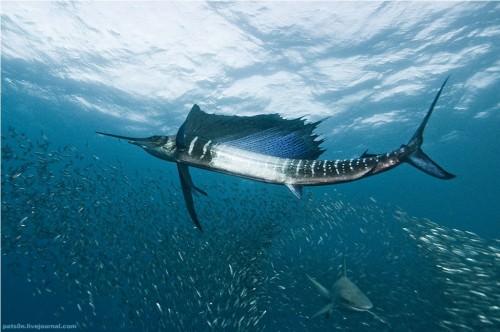 Рыба-парусник (лат. Istiophorus) (англ. Pacific Sailfish)