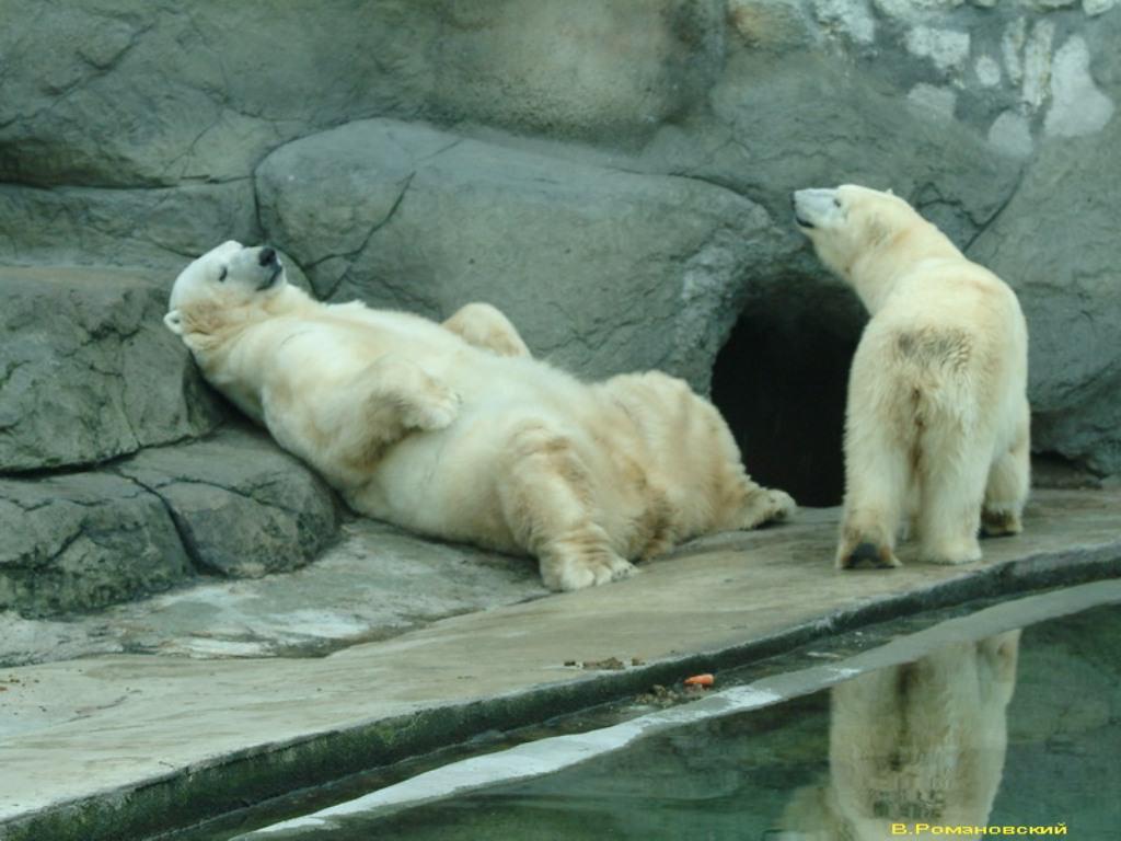 "Открытка  ""Московский зоопарк.  Белые медведи ""Postal card  ""Moscow zoo."