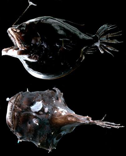 Глубоководный удильщик (лат. Ceratioidei)