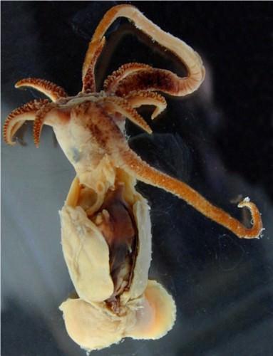 Зубастый кальмар (официальное название – Promachoteuthis Sulcus)