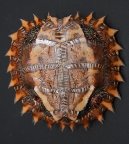 Колючая черепаха или горная колючая черепаха (лат. Heosemys spinosa, Geoemyda spinosa) (англ. Spiny Turtle)