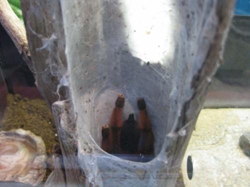 Гваделупский птицеед или антильский розоволапый птицеед (лат. Avicularia versicolor)