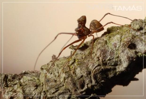 Мадагаскарский паук-убийца (лат. Eriauchenius gracilicollis)(англ. Tiny Assassins, Assassin Spider)