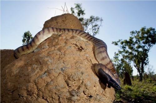 Черноголовый питон или питон-офиофаг (лат. Aspidites melanocephalus) (англ. Black-headed python)
