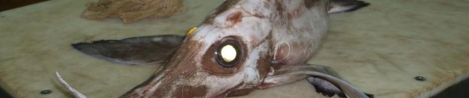 Длинноносая химера (лат. Harriotta raleighana) (англ. Long-Nosed Chimera)