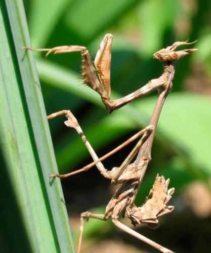 Эмпуза полосатая (лат. Empusa fasciata) (англ. Conehead mantis)