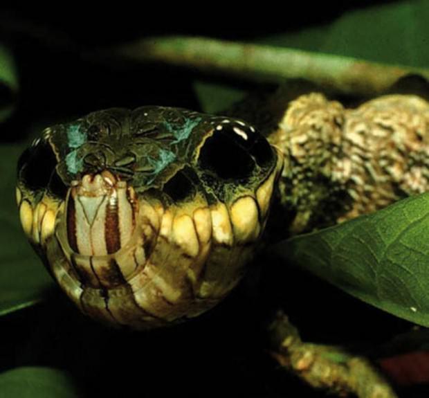 Гусеница-змея (лат. Hemeroplanes caterpillar) (англ. Snake-mimic caterpillar)