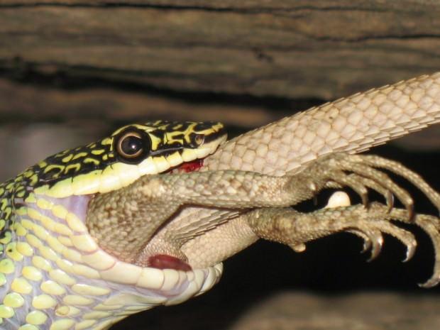 Летающие змеи (лат. Chrysopelea) (англ. Flying snake)
