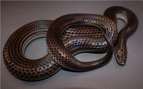 Лучистая змея (лат. Xenopeltis unicolor)(англ. Sunbeam Snake)