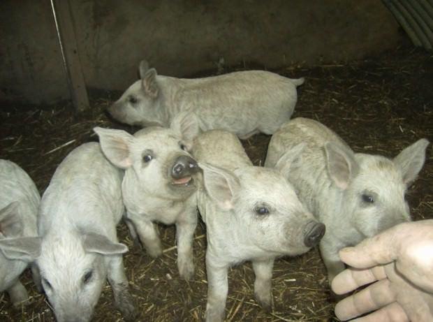 Эта порода достаточно легка в содержании: свиньи не требуют теплого помещения, им не.