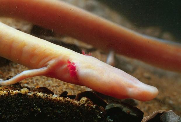 Протей европейский или олм (лат. Proteus anguinus) (англ. Olm)