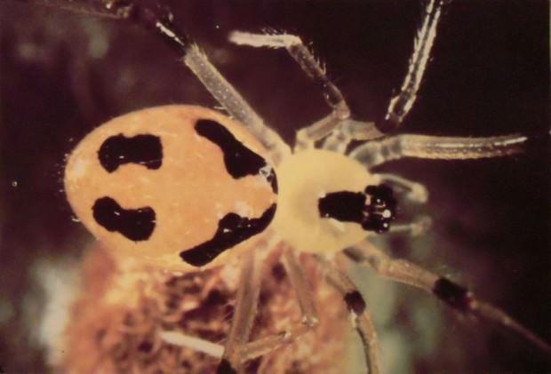 Улыбающийся паук (лат. Theridion grallator) (англ. Happy face spider)