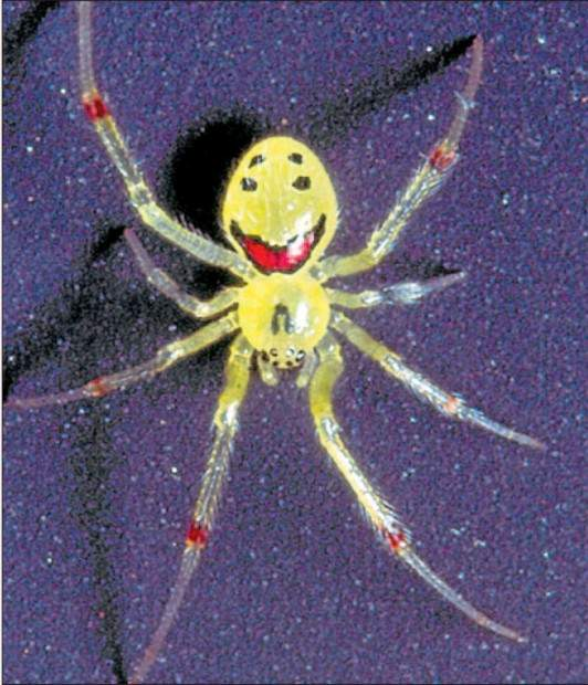 Theridion grallator) (англ.  Happy face spider) .