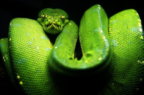 Зеленый питон (лат. Morelia viridis)(англ. Green Tree python)